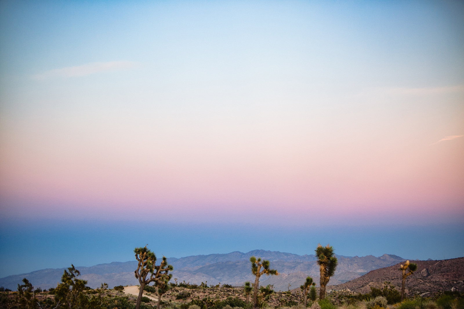 Joshua Trees in front of a cotton candy sunset.